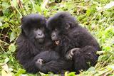 Primates baby Gorillas in Rwanda Fotografisk tryk af Donald Bruschera