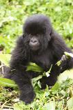Primate baby Gorilla in Rwanada Fotografisk tryk af Donald Bruschera