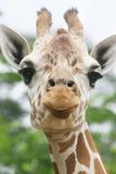 Giraffe close up in Alabama Zoo Lámina fotográfica por Frances Duggins