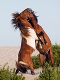 Wild horses on Assateague Island Photographic Print by Jack Nevitt