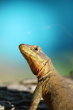 Reptile Lizard in Argentina Fotografie-Druck von Matias Moretti