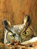Great Horned Owl watching in California Fotografie-Druck von Thomas Muehleisen