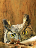 Great Horned Owl watching in California Photographic Print by Thomas Muehleisen