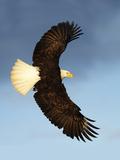 Bald Eagle flying in Alaska Lámina fotográfica por Kevin McCarthy