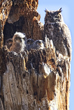 Great Horned Owl nestling in Colorado Fotografisk trykk av Dick Vogel