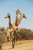 Giraffe group in South Africa Lámina fotográfica por Mary Yaholkovsky