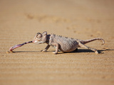 Reptile Chameleon in Nambia Photographic Print by Beverly Houwing