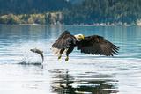 Bald Eagle Fishing in Canada Lámina fotográfica por Larry Paris