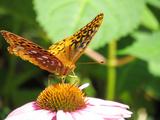 Fritillary butterfly on flower in Maryland Fotografie-Druck von Brenda Johnson