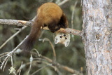 Pine Martin in a tree in Canada Photographic Print by Christopher MacDonald