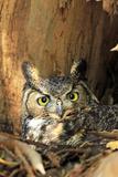 Great Horned Owl nest in California Fotografie-Druck von Thomas Muehleisen