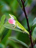 Reptile Anole Lizard in Florida Photographic Print by Kwok Yin Cheung