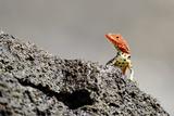 Reptile colorful Lizard in Galapagos Islands Fotografisk tryk af John Rollins