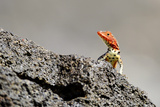 Reptile colorful Lizard in Galapagos Islands Photographic Print by John Rollins