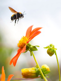 Bee on flower in Mexico City Photographic Print by Kip Kriigel