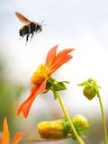 Bee on flower in Mexico City Lámina fotográfica por Kip Kriigel