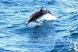 Dolphin jumping in California Fotografie-Druck von Megan Kirkpatrick