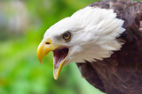 Bald Eagle calling in Florida Photographic Print by Kwok Yin Cheung