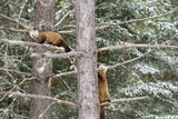Pine Martin pair in tree in Canada Photographic Print by Christopher MacDonald