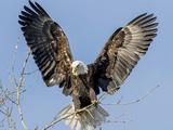 Bald Eagle wings in Wisconsin Lámina fotográfica por Tim Denny