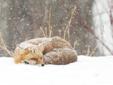 Red Fox sleeping in snow in Maryland Fotografisk tryk af Brenda Johnson