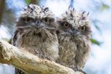 Frogmouth chicks in Australia Fotografie-Druck von Deborah Pearse