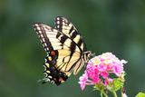 Tiger Swallowtail butterfly in Maryland Fotografie-Druck von Brenda Johnson
