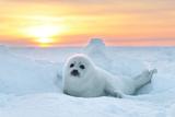 Baby Seal at sunset in Canada Fotografisk tryk af John Rollins