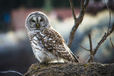 Barred Owl nest in Oregon Fotografisk trykk av Maralee Park