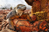 Reptile colorful Iguana in Galapagos Islands Fotografisk trykk av John Rollins