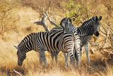 Zebras in South Africa Fotografisk tryk af Al Riutort