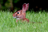 Rabbit in field in Ohio Fotografisk trykk av Leonard Tompos