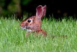 Rabbit in field in Ohio Fotografie-Druck von Leonard Tompos