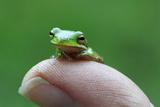 Amphibian Small Green Tree Frog in Alabama Fotografie-Druck von Julia Bartosh