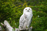 Snowy Owl in Uganda Fotografie-Druck von Laura Lorman