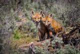 Red Fox pair in Utah Photographic Print by Mavourneen Strozewski