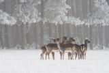 Deer in snow in Hungary Impressão fotográfica por Adam Horvath