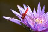 Red Dragonfly on purple flower  in Florida Fotografie-Druck von Pam Winegar