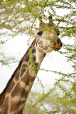 Giraffe in Africa Photographic Print by Yara Gomez-Sugg