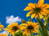 Souci jaune Reproduction photographique par Charles Bowman