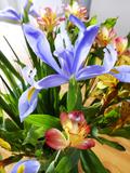 Iris Reproduction photographique par Charles Bowman