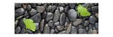 Black Stones And Ginko Leaves Panorama Fotografie-Druck von Steve Gadomski