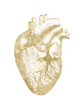 Heart Anatomical Golden White Poster par Amy Brinkman