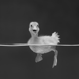 Duckling Swimming on Water Surface, UK Reproduction photographique par Jane Burton
