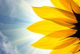 Sonnenblume Metalldrucke von  logoboom