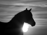 Silhouette of Wild Horse Mustang Pinto Mare at Sunrise, Mccullough Peaks, Wyoming, USA Lámina fotográfica por Carol Walker