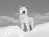 Grijze poolwolf in de sneeuw, Idaho VS Fotoprint van Tom Vezo