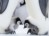 Emperor Penguin Chicks, Snow Hill Island, Weddell Sea, Antarctica, Polar Regions Metalldrucke von Thorsten Milse