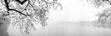 Kirsebærblomster ved søens bred, Washington DC, USA Fotografisk tryk