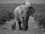 Mother and Calf, African Elephant (Loxodonta Africana), Addo National Park, South Africa, Africa Premium fotografisk trykk av Ann & Steve Toon